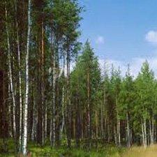 Imágenes Bosques de Coniferas