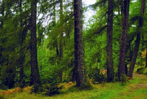 Tipos de Bosques de Coníferas por tipo de Localización