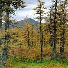 Taiga Bosques de Coniferas