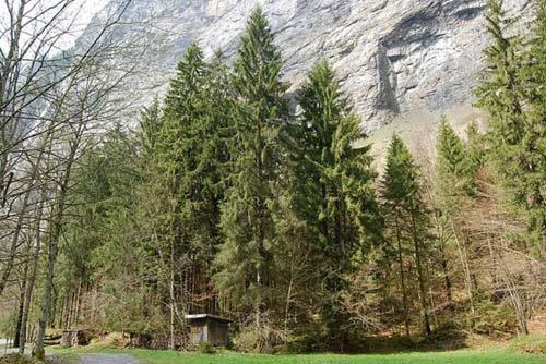 Características de los Bosques de Coníferas