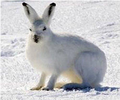 Conejos que viven en la Taiga