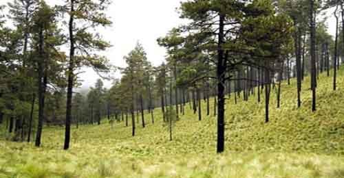 Los Bosques de Coniferas Flora y mucho más