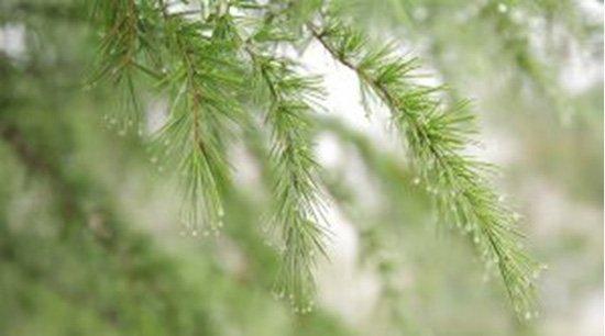 Bosques de Coníferas y sus Temperaturas